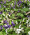 Purple and white wild violets in forest (26131265003).jpg