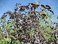 Purple leaf cassava (5107346180).jpg