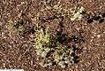 Pycnanthemum flexuosum 3zz.jpg