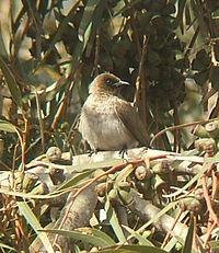 Pycnonotus barbatus.jpg