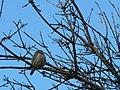Pygmy Owl (8552761898).jpg