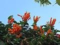 Pyrostegia venusta - Flaming Trumpet in Wayanad (18).jpg