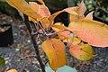 Pyrus pyrifolia Nijisseiki 0zz.jpg
