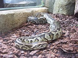 Python molure.JPG