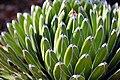 Queen Victoria agave.jpg