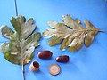 Quercus pyrenaica var.2 2011-9-18 SierraMadrona.jpg