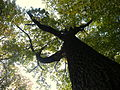 Quercus robur (4).JPG