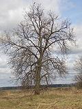 Quercus robur crown.jpg