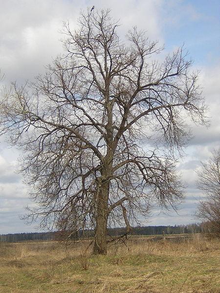 File:Quercus robur crown.jpg