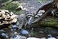 Raccoon by water. (5add687cef3b4dd8b3057b58ac2f3618).jpg