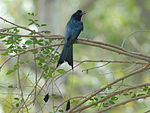 Racket-tailed Drongo 2431.jpg