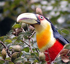 Red-breasted Toucan or Green-billed Toucan (Ra...