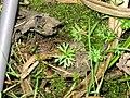 Ranunculus gmelinii 2-eheep (5097349955).jpg