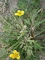 Ranunculus sardous 002.JPG