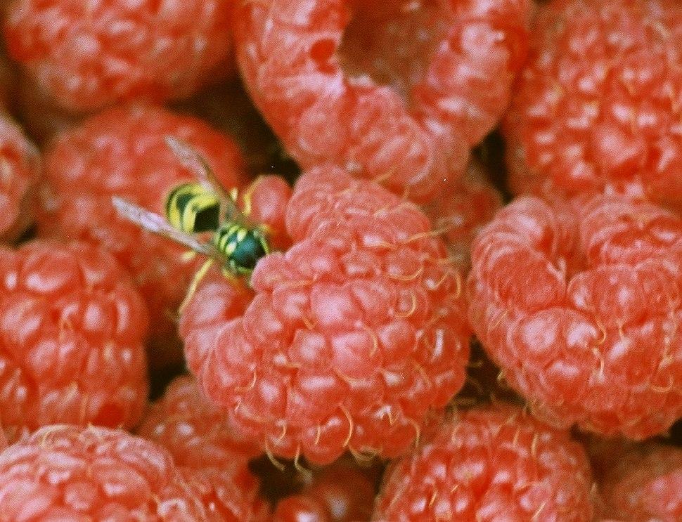 Raspberries Yellowjacket