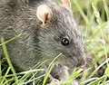 Rattus norvegicus - Brown rat 05.jpg