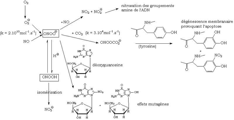 File:Reaction peroxynitrite.png