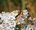 Recke Stenopterus rufus on Achillea millefolium 01.JPG