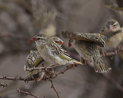 Red-billed Quelea (Quelea quelea) - Flickr - Lip Kee (1).jpg