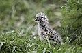 Red-billed gull chick - otago peninsula - dunedin - new zealand (45886237271).jpg