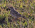Red-capped Lark (Calandrella cinerea) (20960905418).jpg