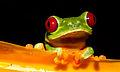 Red-eyed Treefrog (Agalychnis callidryas).jpg