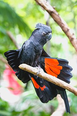 Red-tailed black cockatoo.jpg