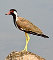 Red-wattled Lapwing Vanellus indicus by Dr. Raju Kasambe DSC 5603 (3).jpg