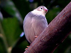 Red Billed Starling.jpg