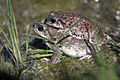 Red Spotted Toad.jpg