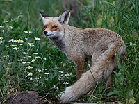 Red fox at Gamla.jpg