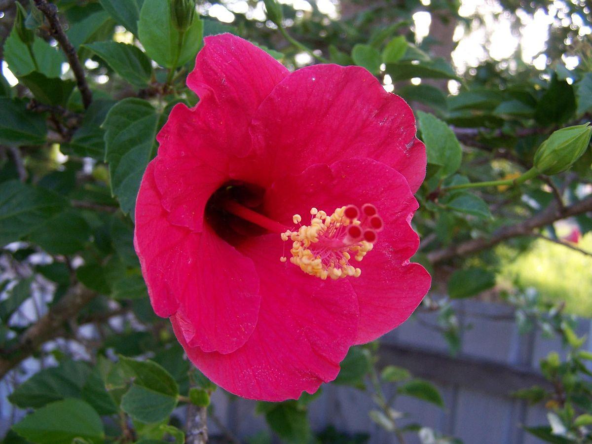 File:Red Hibiscus Flower.jpg
