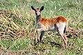 Red lechwe (Kobus leche leche) juvenile.jpg