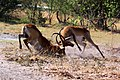 Red lechwe fighting 2.jpg