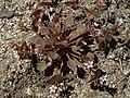 Redstem miners lettuce, Claytonia rubra ssp. rubra (16069131775).jpg