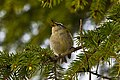 Regulus ignicapilla -Galicia, Spain -singing in a conifer tree-8 (1).jpg