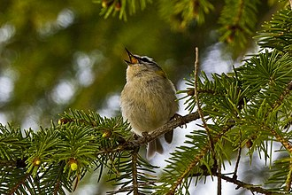 Common firecrest - Singing in a conifer tree in Galicia, Spain
