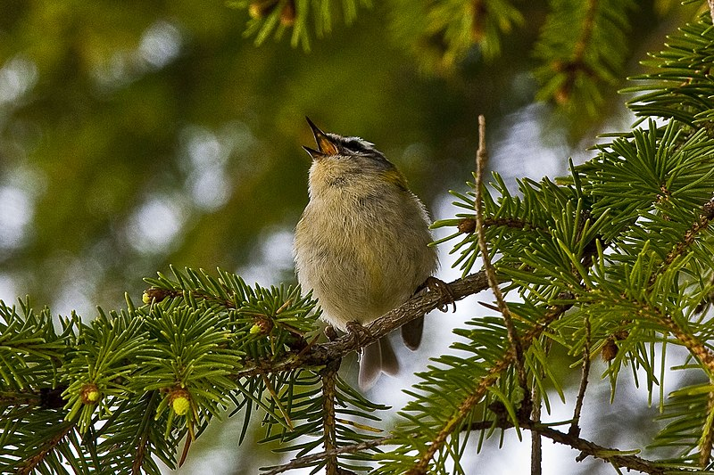 File:Regulus ignicapilla -Galicia, Spain -singing in a conifer tree-8 (1).jpg