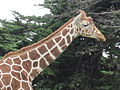 Reticulated Giraffe at SF Zoo 13.JPG