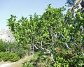 Rhamnus alpina 26062001 2.JPG
