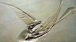 Rhamphorhynchidae - Fossil specimen of Rhamphorhynchus