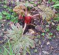 Rheum palmatum - Flickr - peganum (1).jpg