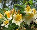 Rhododendron 'Toucan' (Knap Hill hybrid azalea) (27458708961).jpg