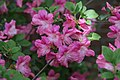 Rhododendron Alight 3zz.jpg