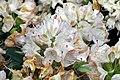 Rhododendron catawbiense Album 2zz.jpg