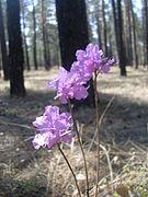 Rhododendron dauricum Transbaikal 2.jpg