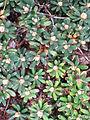 Rhododendron impeditum.JPG