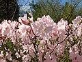 Rhododendron schlippenbachii 2019-04-20 1697.jpg
