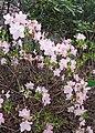 Rhododendron schlippenbachii kz04.jpg