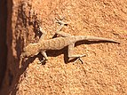 Rhoptropus bradfieldi diporus.jpg